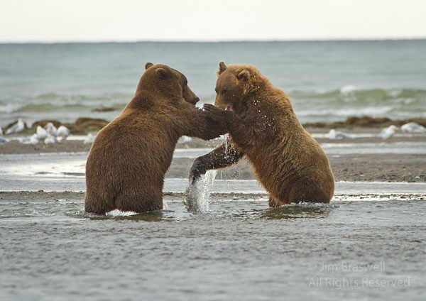 Young Brown Bears playing