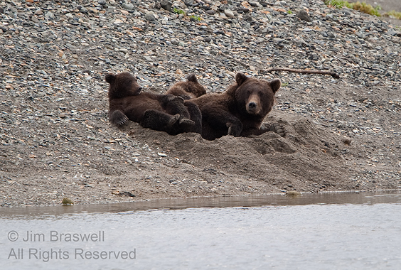 Brown Bear sow and cubs in a daybed