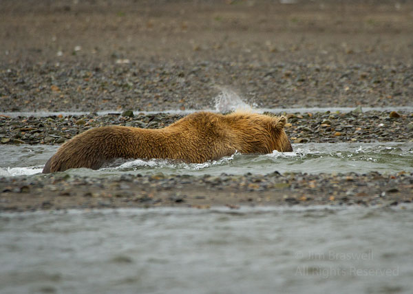 Brown Bear snorkeling for salmon