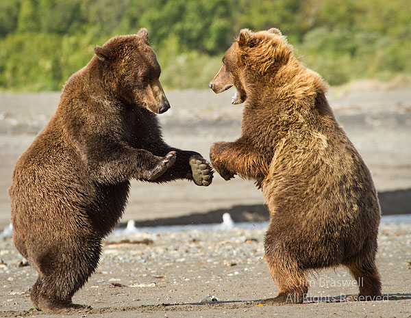 Brown Bears Playfighting
