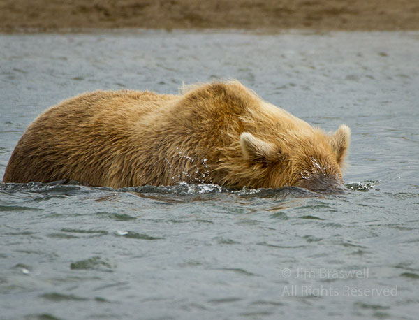 Brown Bear snorkeling for salmon in deeper water