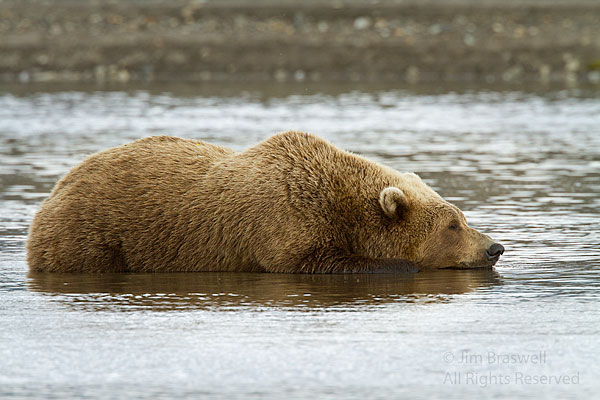 Brown Bear napping in Clint's Creek