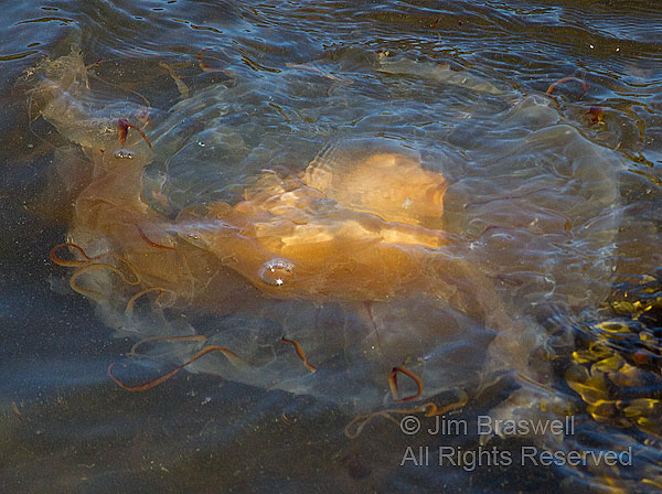 Jellyfish in tidepool at low tide