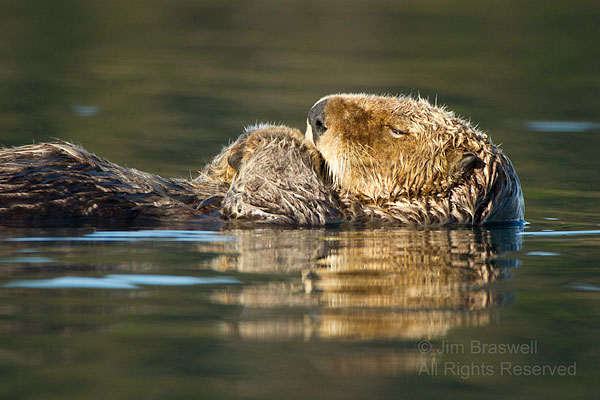Sea Otter taking a nap