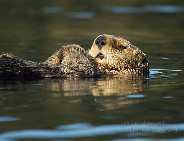 Sea Otter, closely watching me as he naps