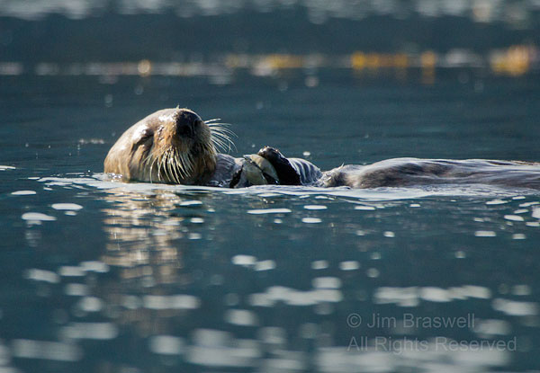 Sea Otter with a clam
