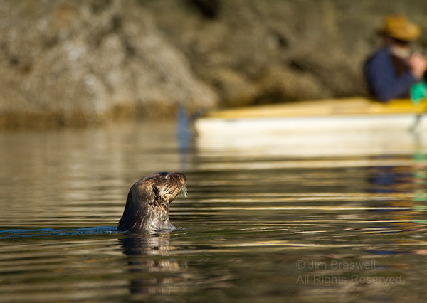 Sea Otter watching us kayak past hin