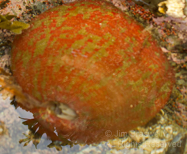 Red and Green Sea Anemone