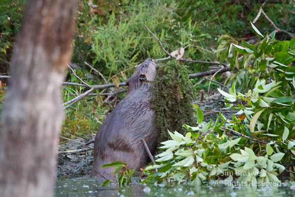 American Beaver bringing aquatic grasses for lodge roof repairs