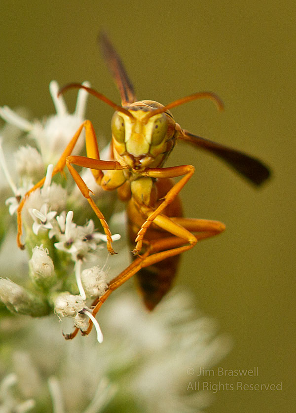 Paper Wasp on wildflower