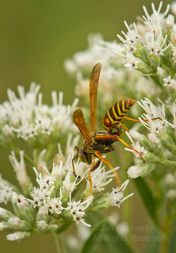 Paper Wasp, collecting nectar from a wildflower
