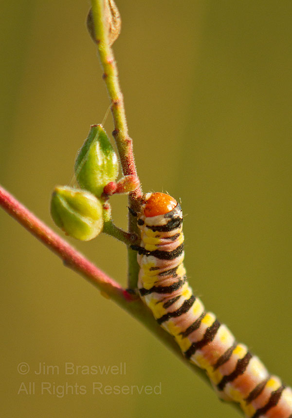 Caterpillar on Gaura wildflower plant