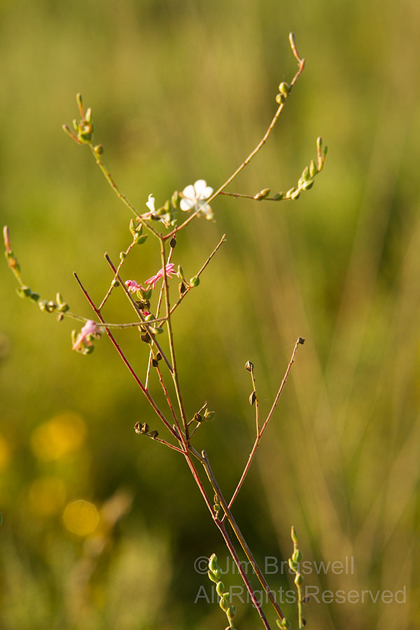 Gaura wildflower plant, eaten by caterpillars
