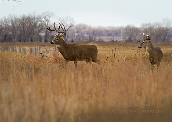 Pair of White-tailed Deer bucks
