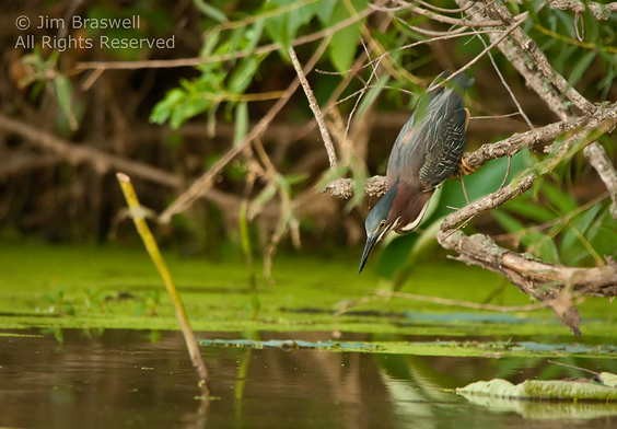Green Heron targets an incoming fish