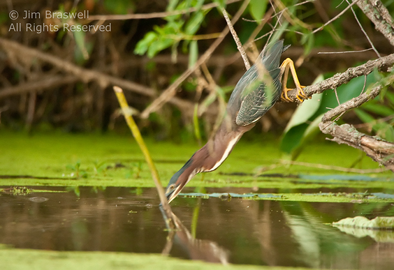 Green Heron catching a small fish