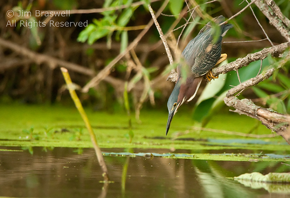 Green Heron tracking fish