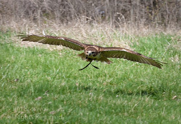 Red-tailed hawk returns to falconry handler