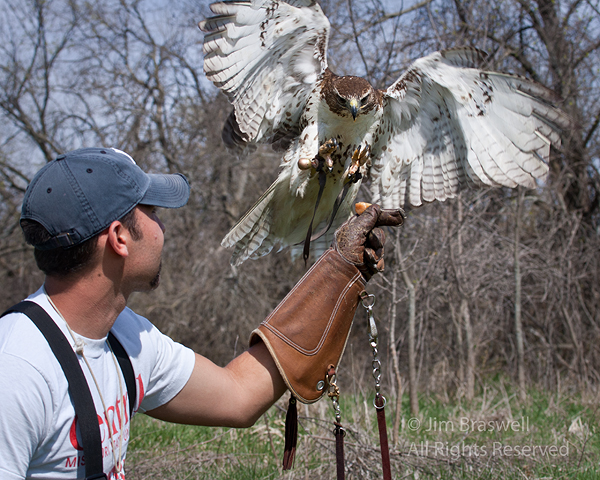 Red-tailed hawk lands on falconry handler's hand