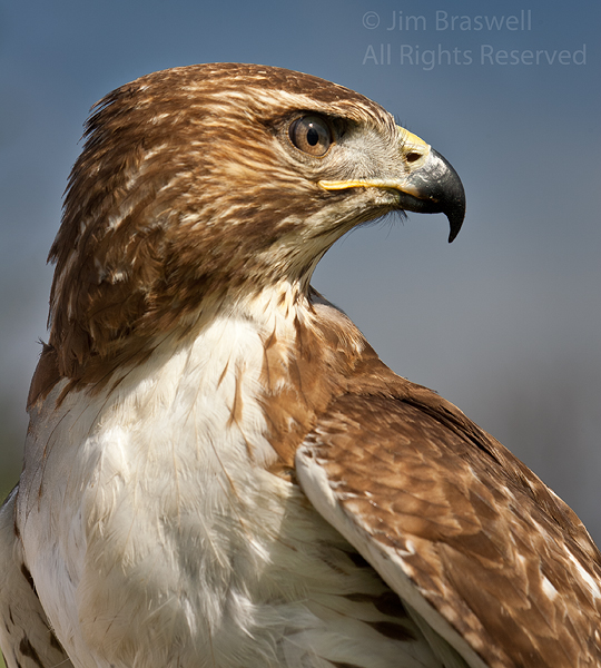Closeup of Red-tailed Hawk (used in falconry)