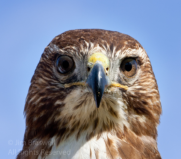 Red-tailed Hawk closeup (used for falconry)