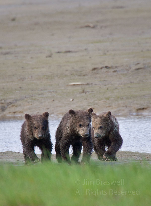 Spring brown bear cubs trying to catch up to mom