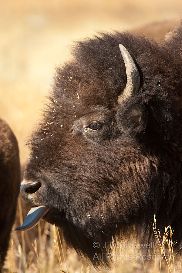 American Bison with Tongue Out