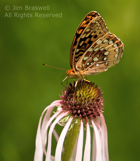 Great Spangled Fritillary Butterfly on Pale Purple Coneflower