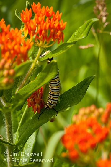 Monarch Caterpillar munching on Butterfly Weed