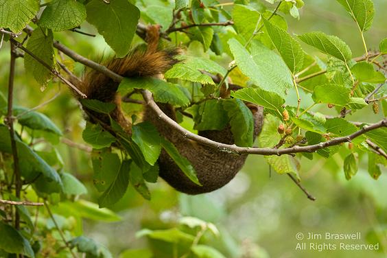 Squirrel upside-down, eating mulberries