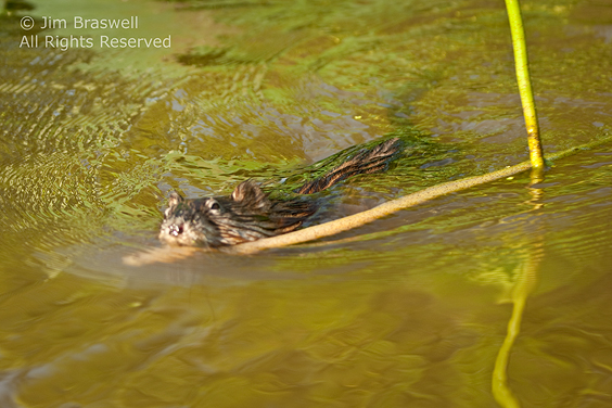 Muskrat carrying American Lotus stalk in mouth