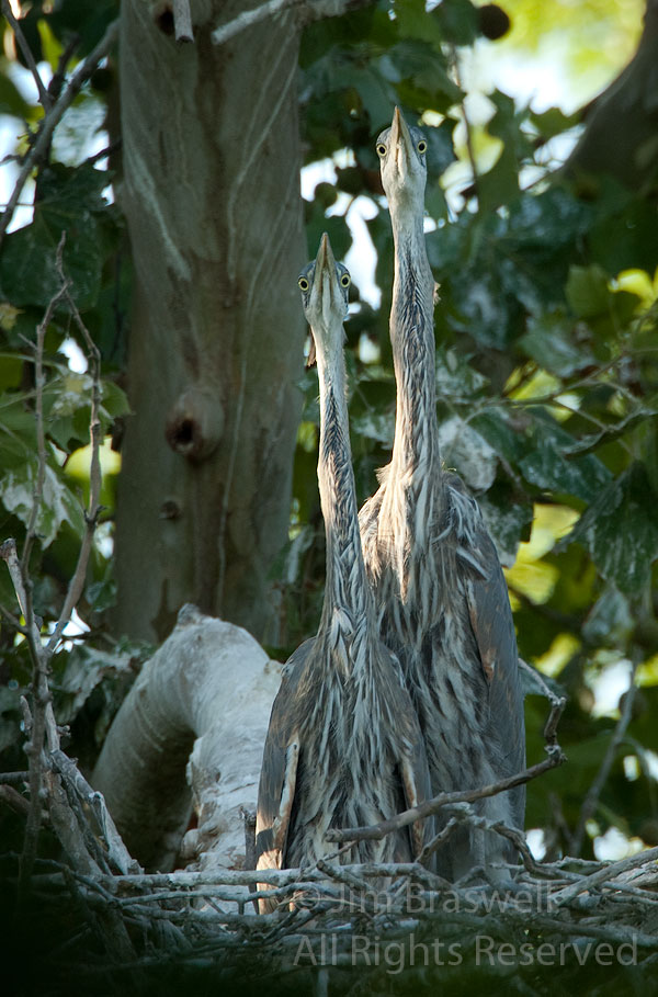 Great Blue Heron chicks watching me at a local rookery