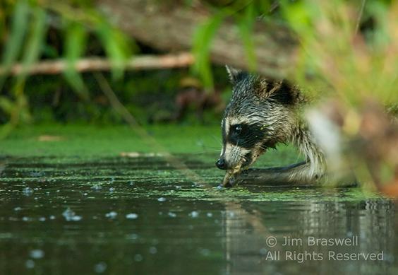 Raccoon with a frog