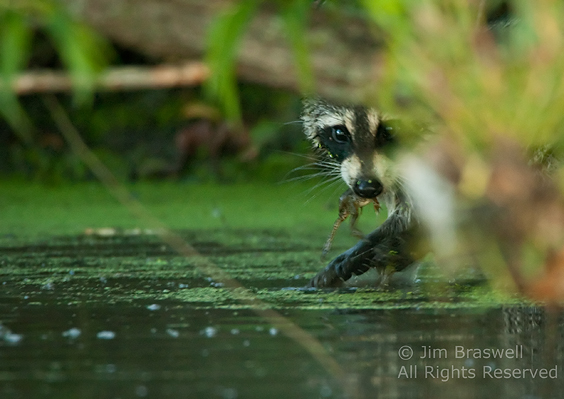 Raccoon with frog in his mouth