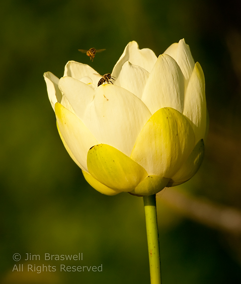 Bees attracted to the American Lotus flower