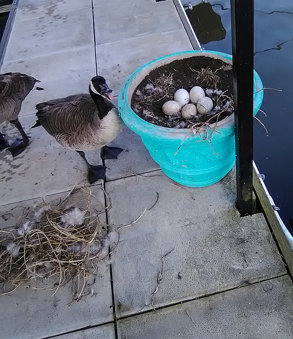 Five eggs in a Canada Goose nest