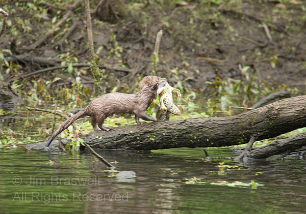 Mink with Bullfrog