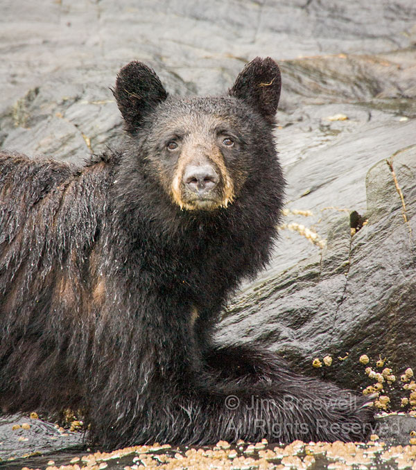 Black Bear sow, looking up from scavaging barnacles on the shoreline