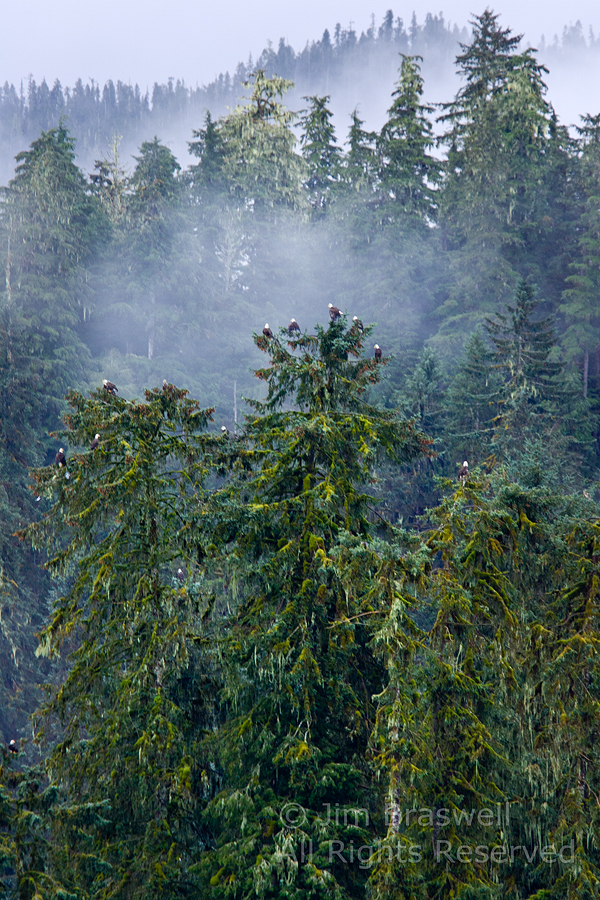 Bald Eagles fill the Sitka Spruce trees at Anan Creek