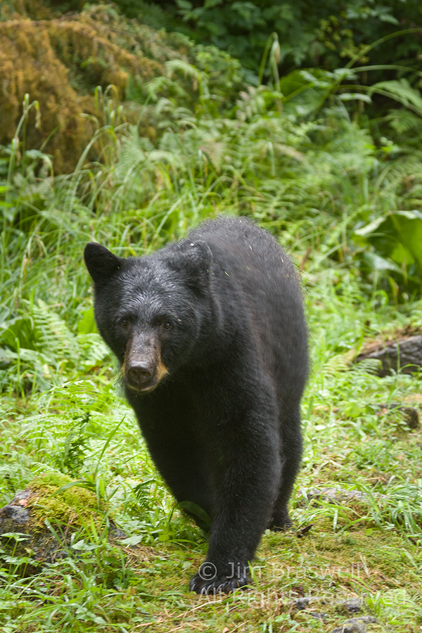 Black Bear on the trails at Anan Creek