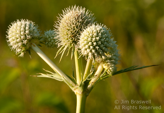 Rattlesnake Master flower head