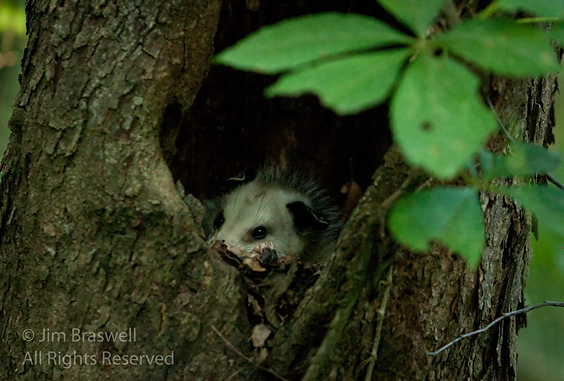 Opossum in tree cavity