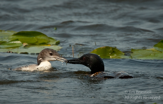Common Loon adult feeds young loon