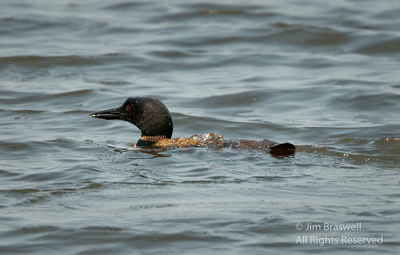 Common Loon with fish in beak