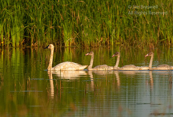 Adult Trumpeter Swan with 2 cygnets