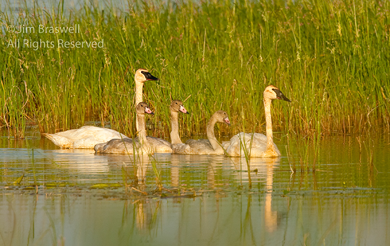 Trumpeter Swan pair with 3 cygnets