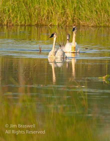 Trumpeter Swans swimming towards me