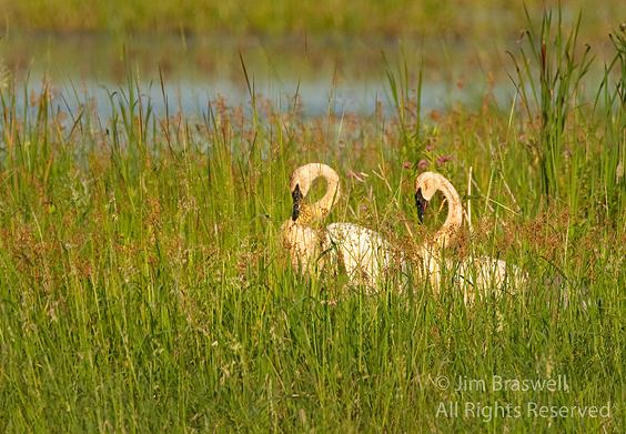 Trumpeter Swan pair, in synchronous movement