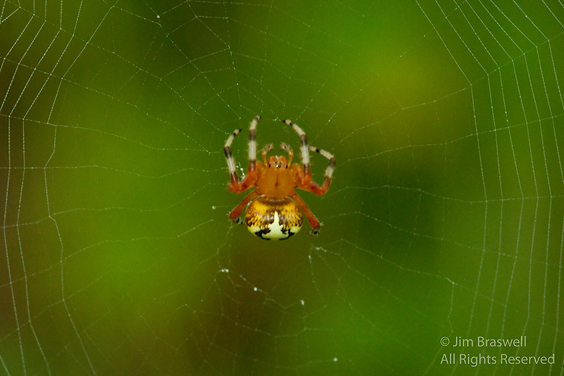 Marbled spider on web