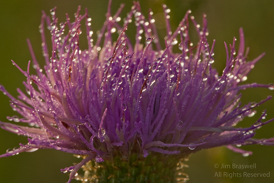Thistle with heavy dew